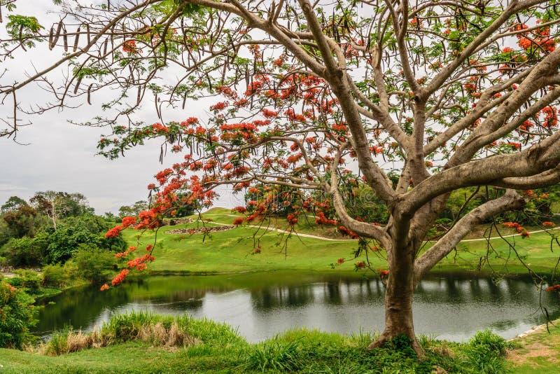Le Delonix royal Regia d'arbre de Poinciana a également appelé l'arbre de flamme photos libres de droits