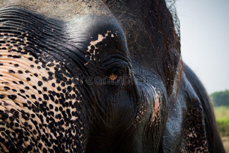Le demi visage de l'éléphant photographie stock libre de droits