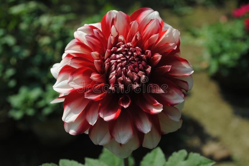 Le den Dahila blomman royaltyfri foto