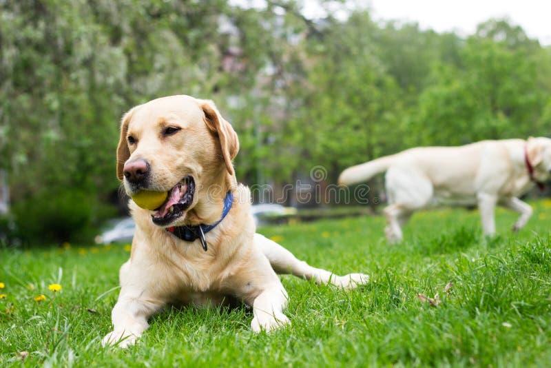 Le den labrador hunden i staden parkera arkivfoton