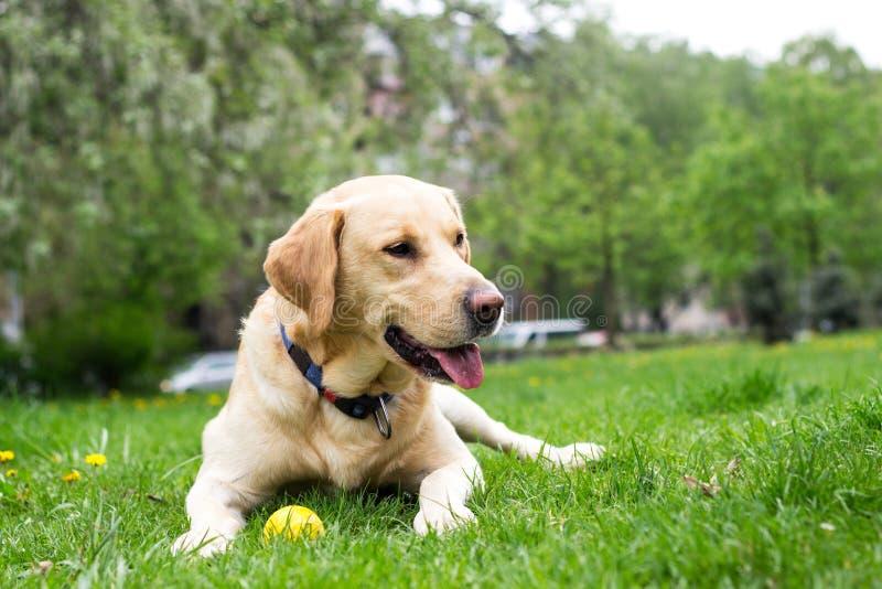 Le den labrador hunden i staden parkera royaltyfria bilder