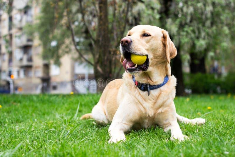 Le den labrador hunden i staden parkera fotografering för bildbyråer
