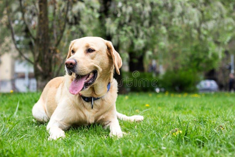 Le den labrador hunden i staden parkera arkivbild