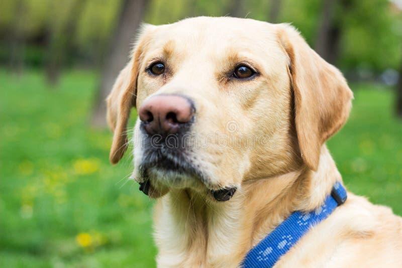Le den labrador hunden i staden parkera royaltyfri fotografi