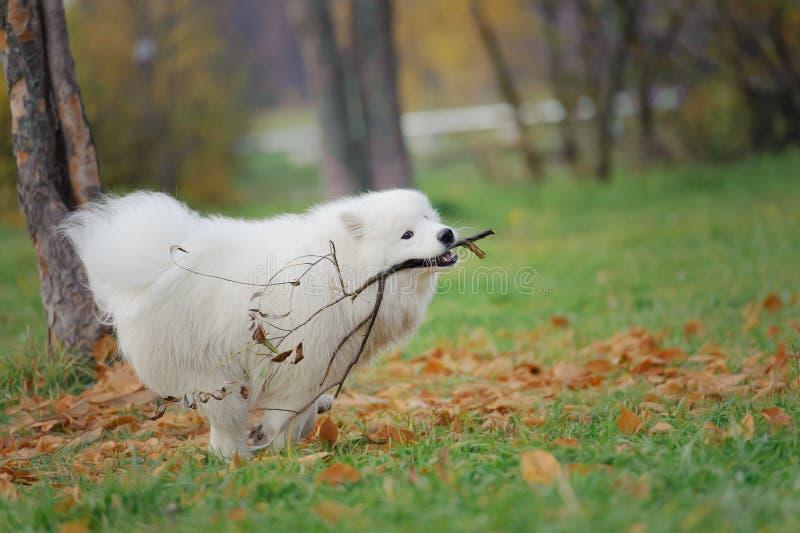 Le den lyckliga Samoyedhunden arkivfoton
