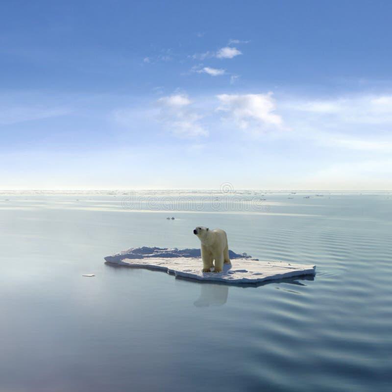 Le dernier ours blanc photos stock