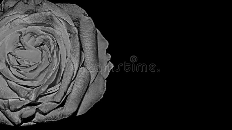 Le dessin de noir de BW et blanc Rose Flower Macro sur le fond noir a isolé Valentine Postcard photos stock