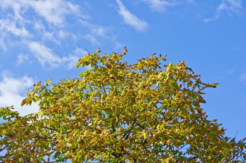 Le dessus de l'arbre de marron d'Inde contre le ciel images stock