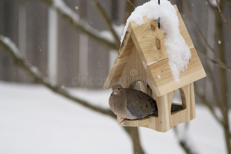 Le deuil a plongé (macroura de Zenaida) en hiver images stock