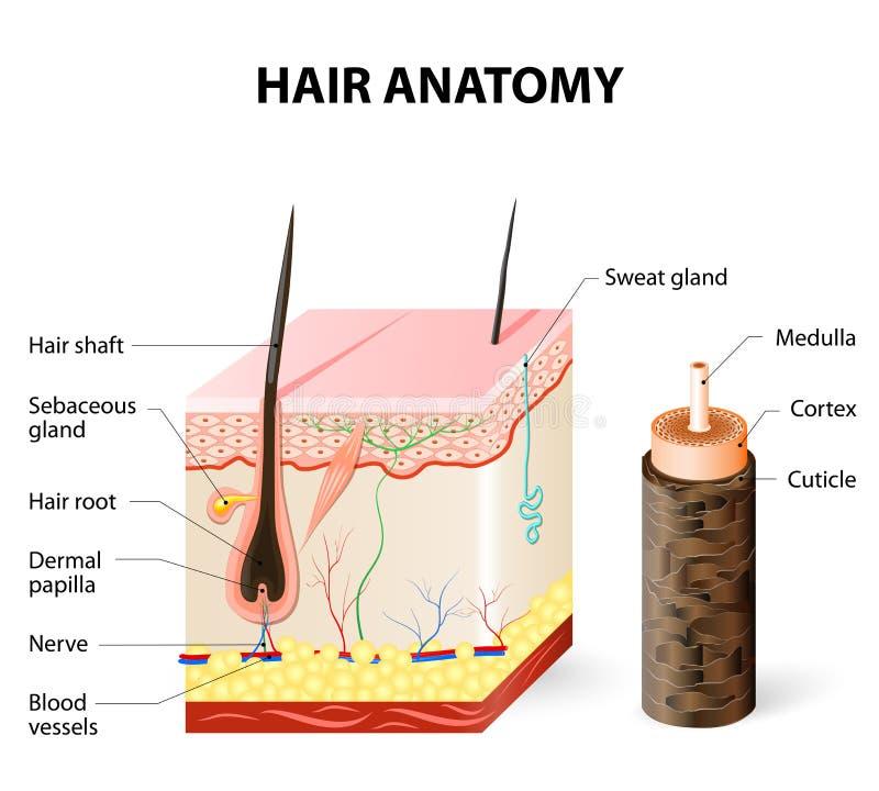 Le diagramme d'un follicule pileux dans une section transversale de peau pose illustration libre de droits