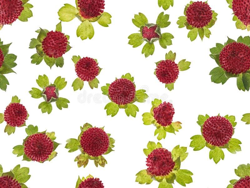 Le dimensioni differenti delle fragole di bosco rosse fresche fotografate hanno sistemato su fondo bianco Immagine senza giunte fotografia stock