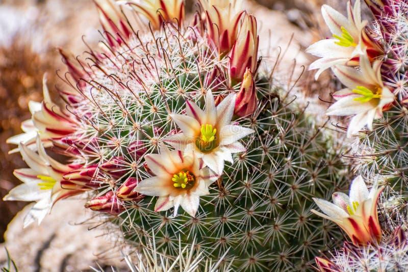 Le dioica de Mammillaria a également appelé le cactus de cactus de fraise, d'hameçon de la Californie, la pelote à épingles de fr photos libres de droits
