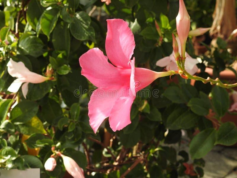 Download Le Dipladénia Rose Est Une Fleur Qui Craint Le Gel Photo stock - Image du découpage, frais: 87704756