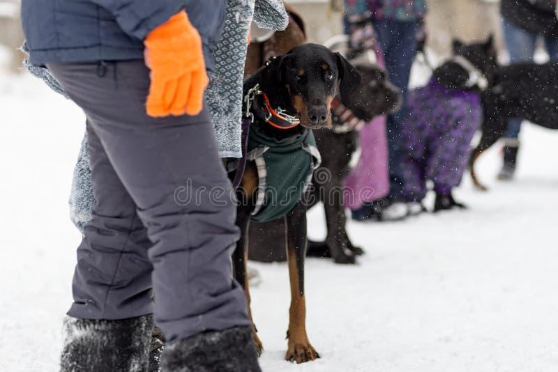 Le dobermann semble triste, hiver photos stock