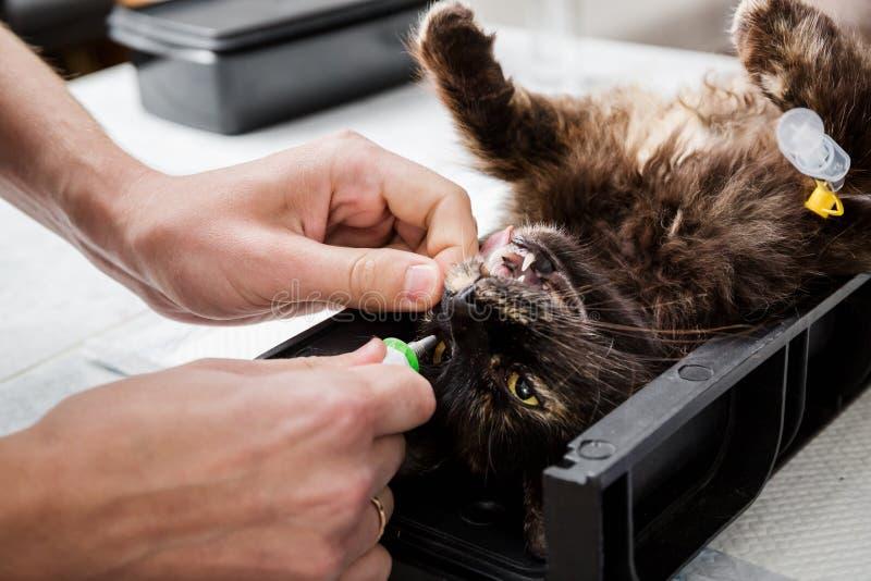 Le docteur hydrate les yeux avec un gel spécial Stérilisation d'un chat photo libre de droits