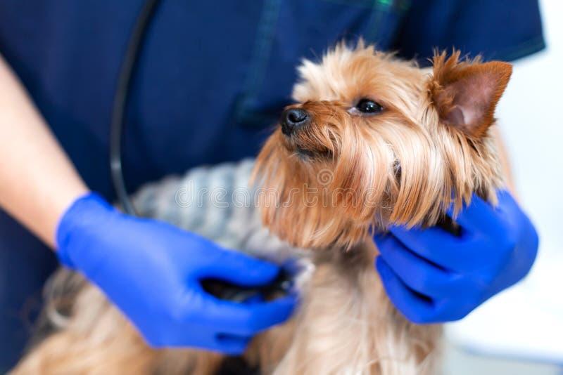 Le docteur professionnel de vétérinaire examine une petite race Yorkshire Terrier de chien utilisant un stéthoscope Un jeune vété photos stock
