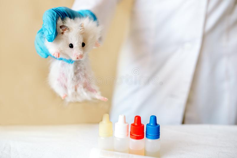 Le docteur vétérinaire compose un contrôle d'un petit hamster Concept v?t?rinaire photos stock