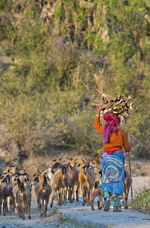 Le donne conducono con il gregge delle capre in un villaggio indiano fotografia stock