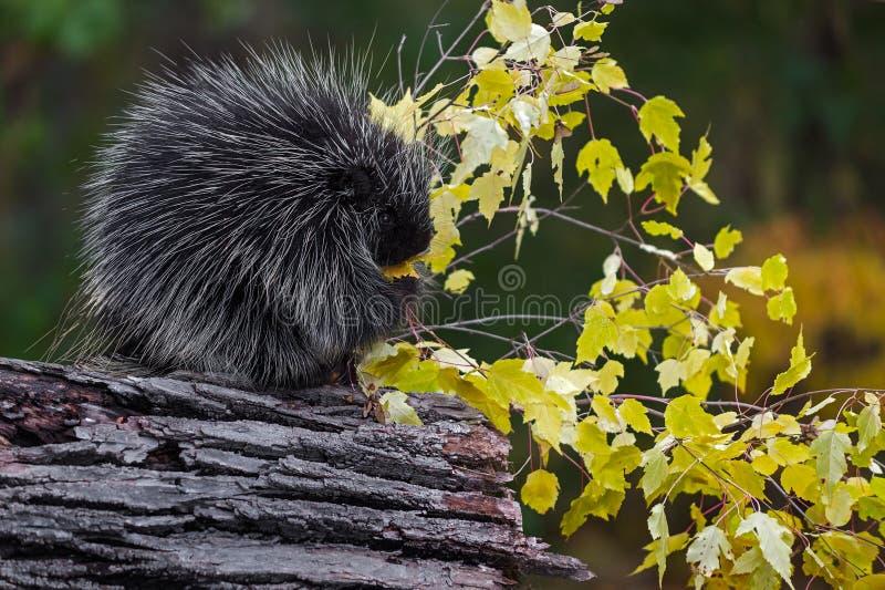 Le dorsatum d'Erethizon de porc-épic se repose en automne de feuilles de consommation de profil photo libre de droits