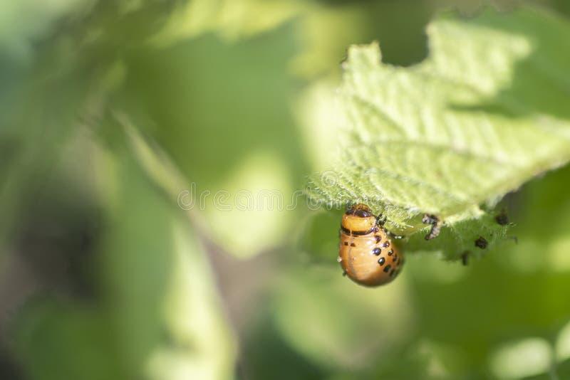 Le doryphore mange des feuilles d'une pomme de terre jeunes Parasites dans l'agriculture image libre de droits