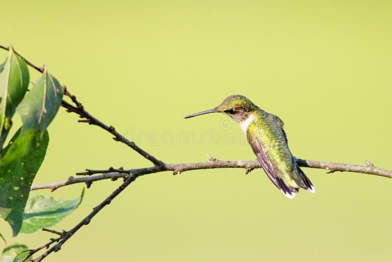 Le dos d'un colibri Rubis-Throated femelle regardant vers la gauche et légèrement en bas d'été perché sur une branche images libres de droits