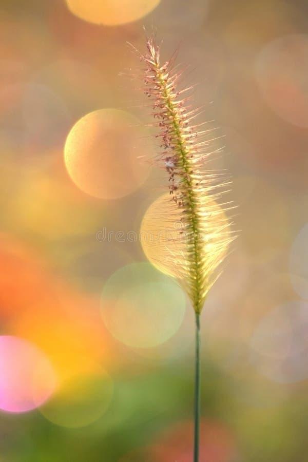 Le doux centre de l'herbe avec un fond coloré photo libre de droits