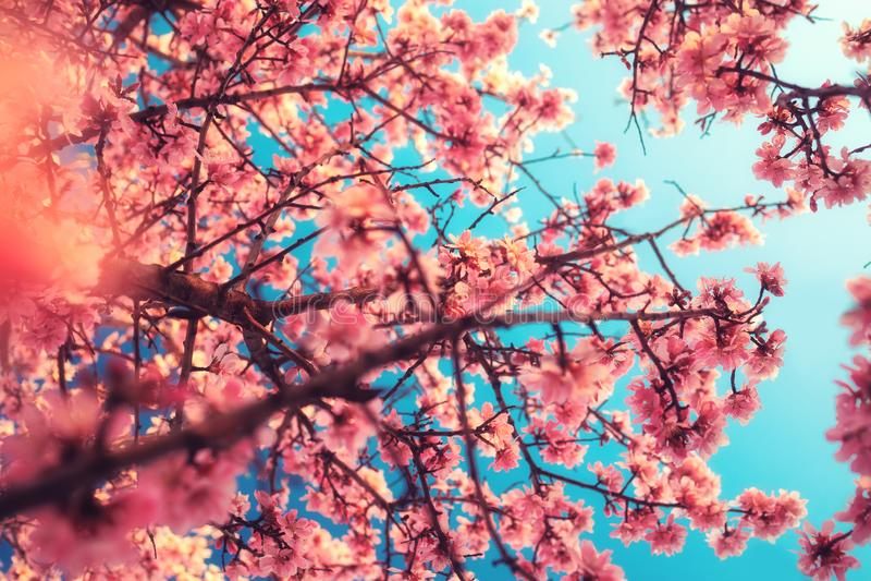 Le doux a focalisé la fleur de floraison rose Macro tir de prochain ressort images libres de droits