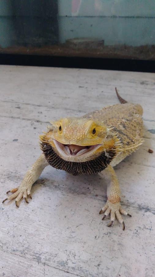 Le dragon barbu de grand bébé apprécie le soleil images stock