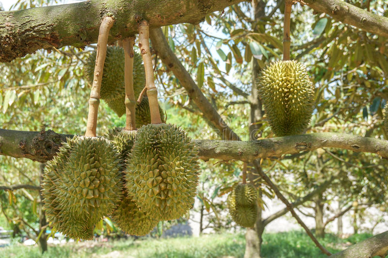 le durian frais sur l 39 arbre dans le verger chez la tha lande le durian est un roi de fruit. Black Bedroom Furniture Sets. Home Design Ideas