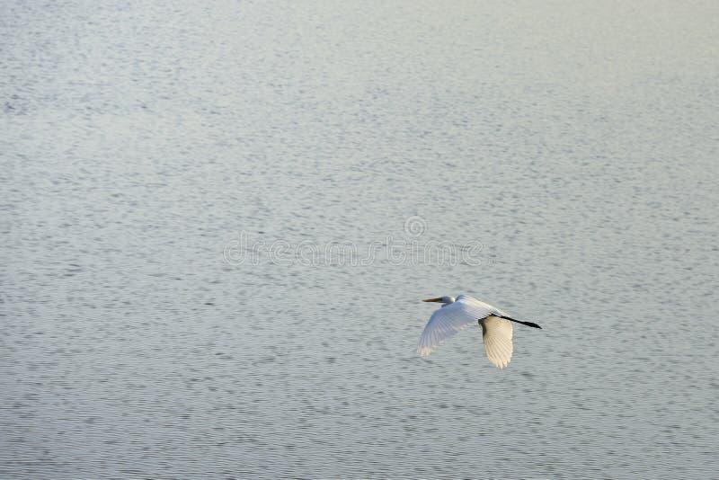 Le egrette volano fotografia stock