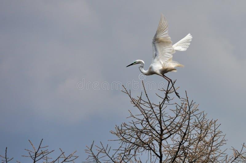 Le egrette volano fotografie stock libere da diritti
