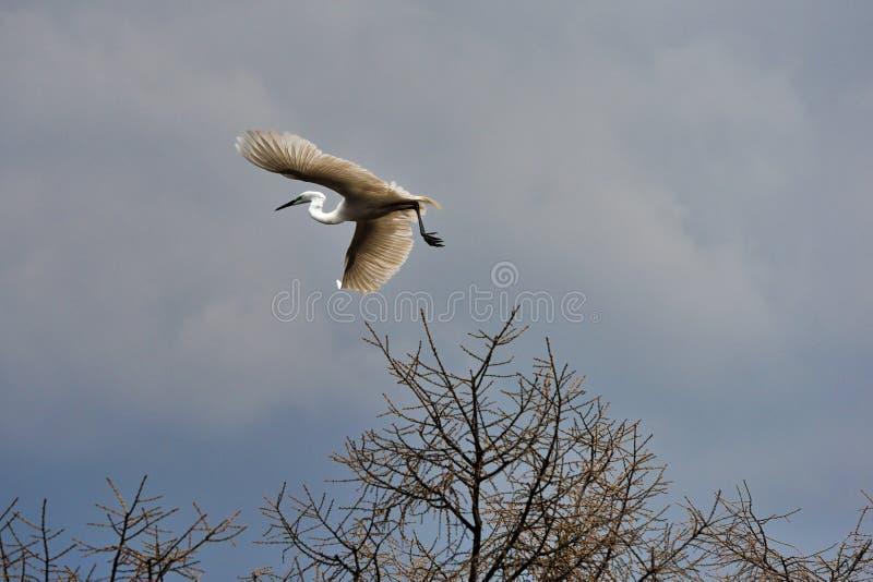 Le egrette volano immagine stock