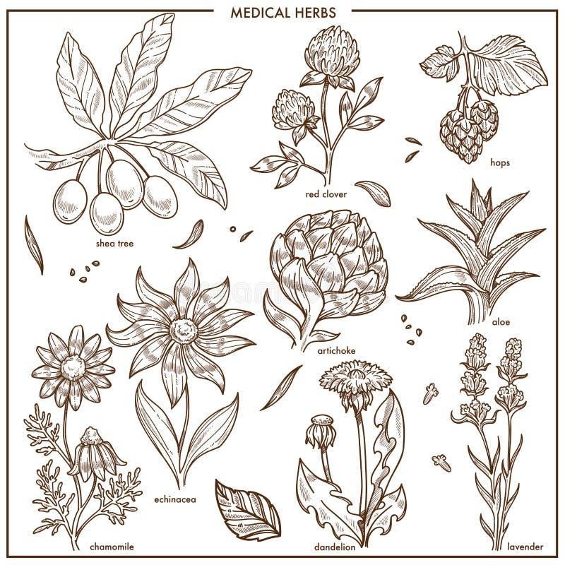Le erbe mediche e le piante della medicina di erbe vector lo schizzo illustrazione vettoriale