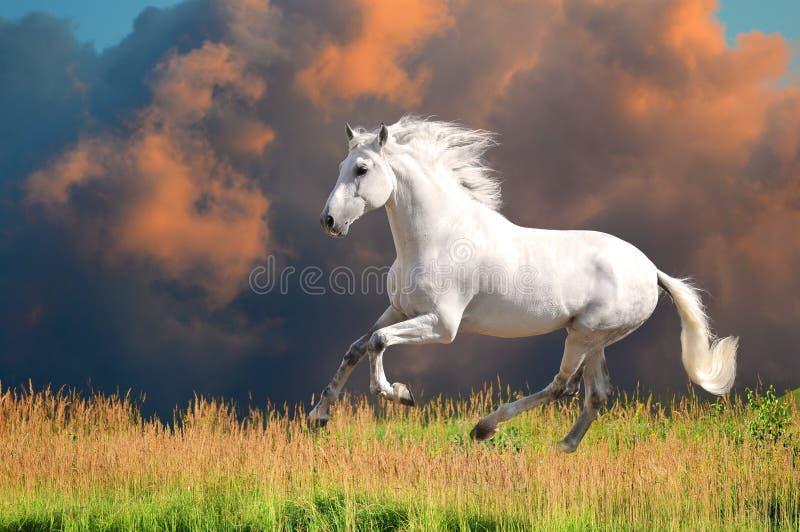 Le esecuzioni andaluse bianche del cavallo galoppano in estate fotografie stock