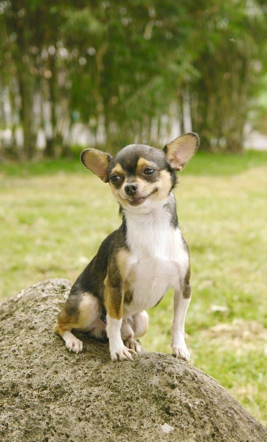 le för chihuahuahund royaltyfri fotografi
