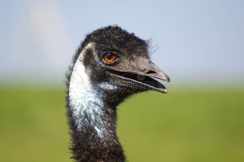 Le för emuhuvud royaltyfri foto