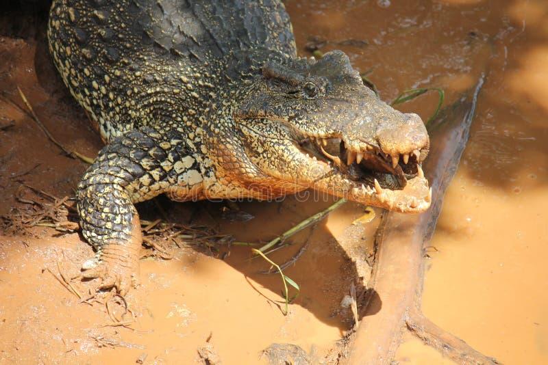 le för krokodil arkivfoto