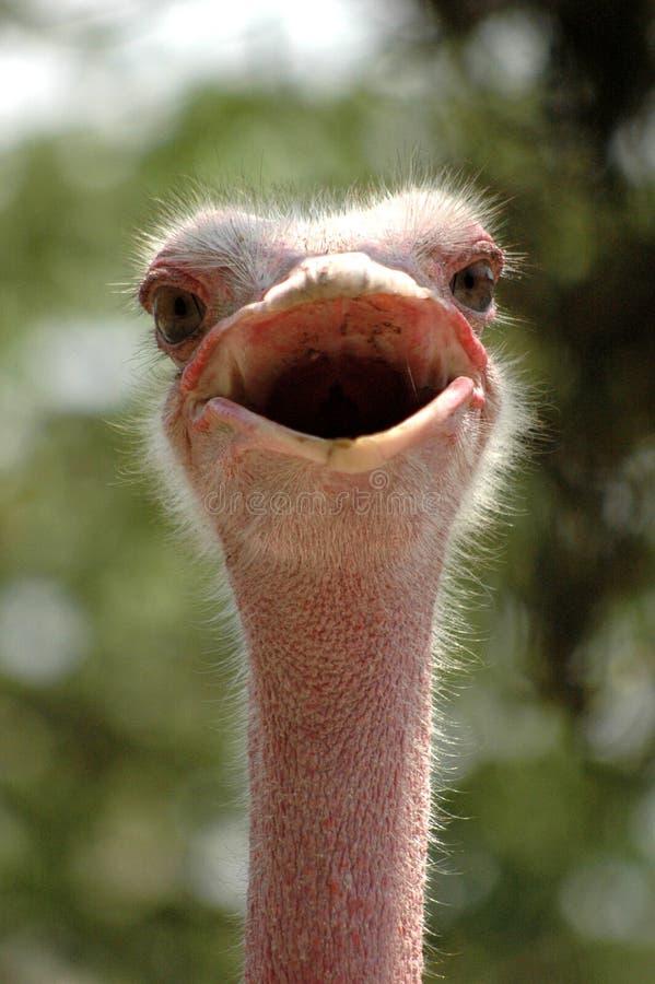le för ostrich arkivfoton