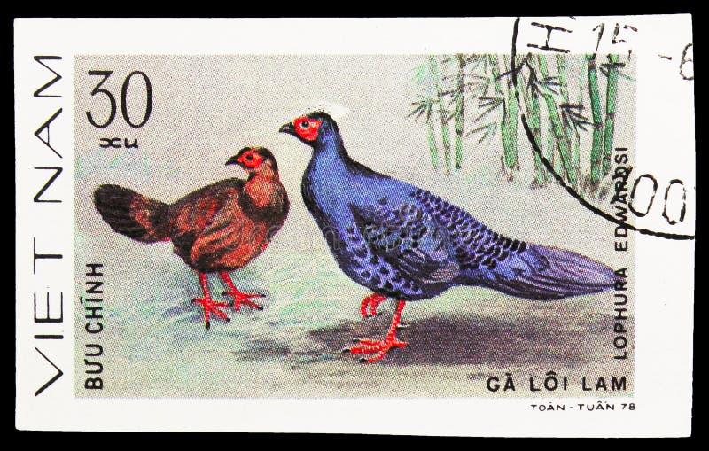 Le faisan d'Edwards (edwardsi de Lophura), serie de faisans, vers 1979 image stock