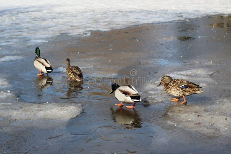 Le famiglie delle anatre selvatiche sono su ghiaccio sottile nel parco un giorno di molla fotografie stock