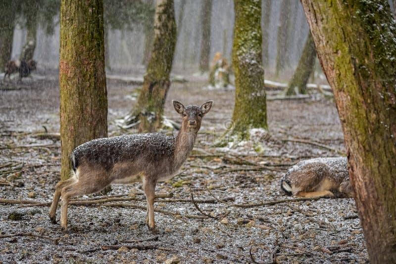 Le faon de regard dans la forêt un jour neigeux photos libres de droits