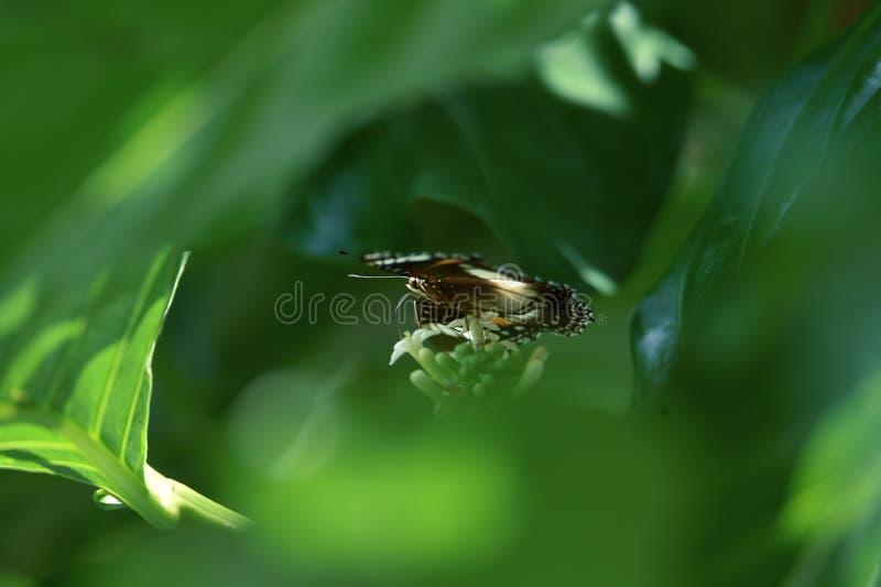 Le farfalle in bianco e nero si appollaiano sulle foglie verdi fotografia stock libera da diritti