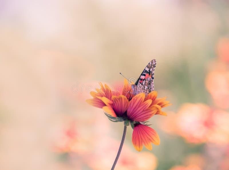 Le farfalle luminose eterogenee hanno dipinto signora sulle margherite variopinte luminose su un prato dell'estate Atteggiamenti  fotografia stock