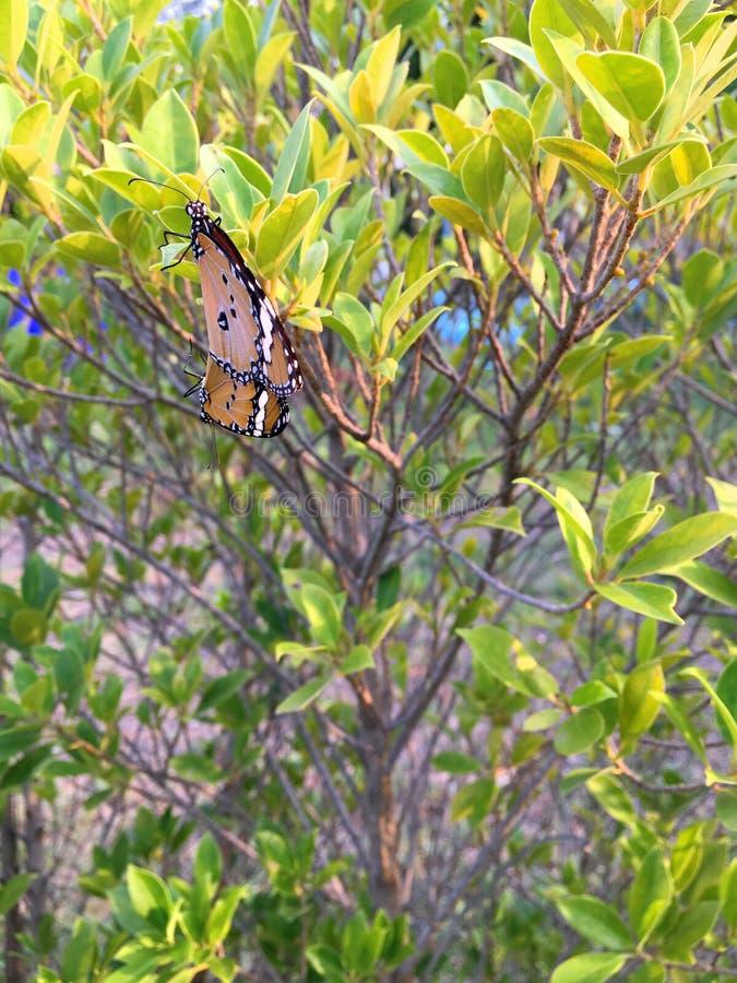 Le farfalle stanno facendo sesso le richieste immagini stock