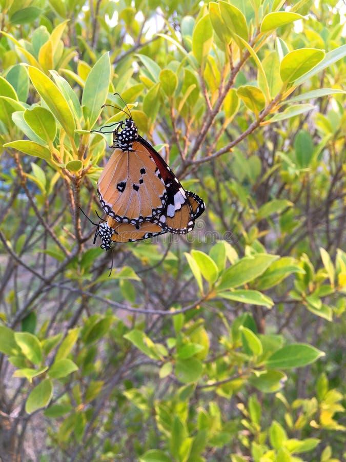 Le farfalle stanno facendo sesso le richieste fotografia stock