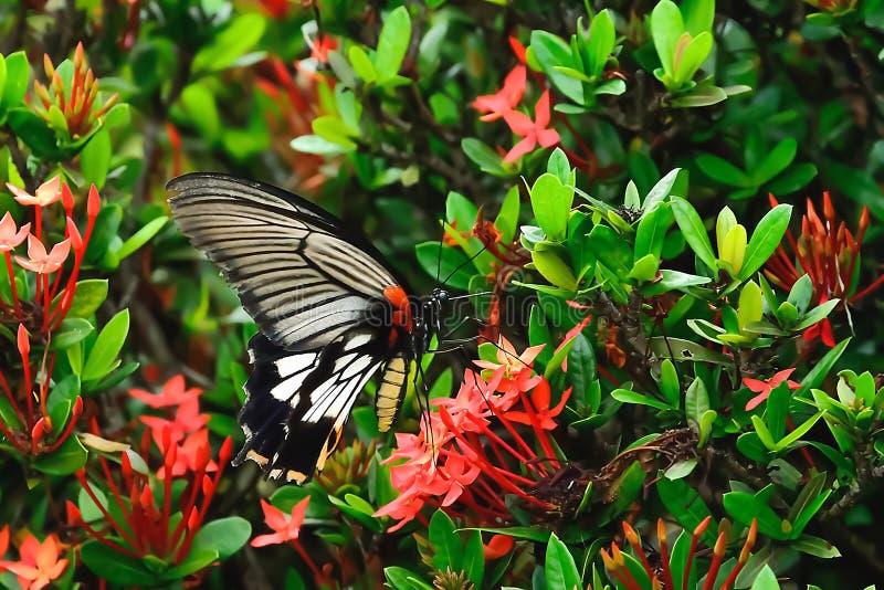 Le farfalle volano sui fiori rossi immagini stock