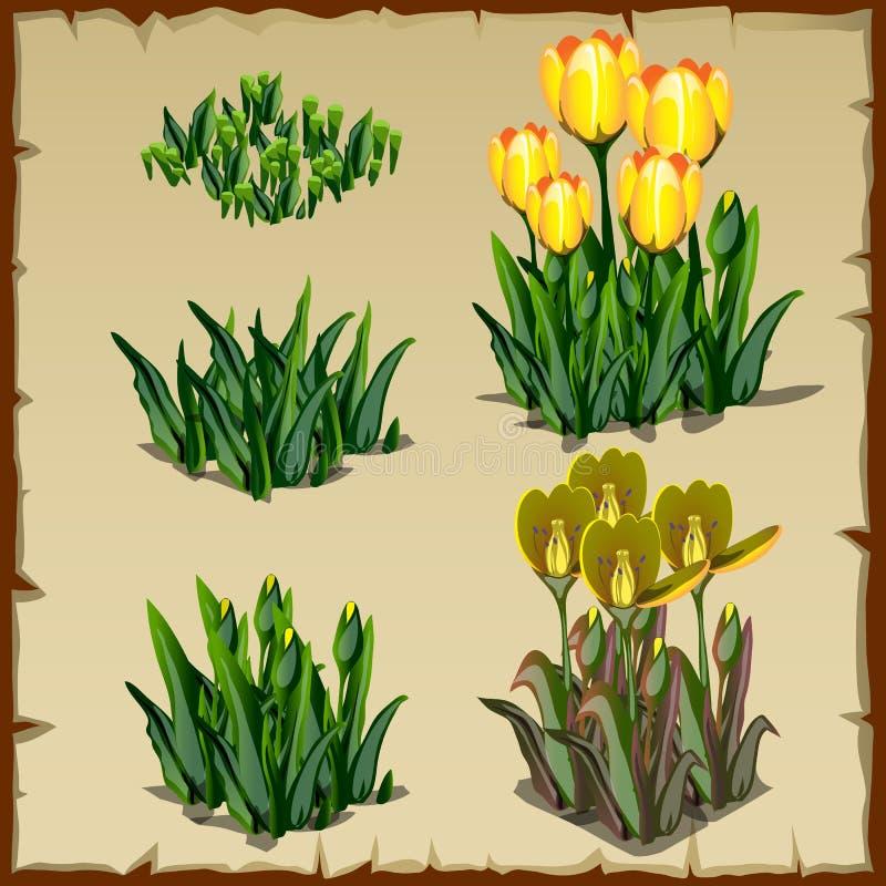 Le fasi della crescita ingialliscono i tulipani, dalla piantatura a royalty illustrazione gratis