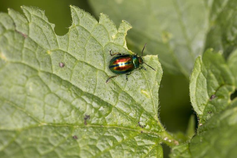 Le fastuosa de Chrysolina, scarabée coloré erre sur une feuille verte, vi image stock