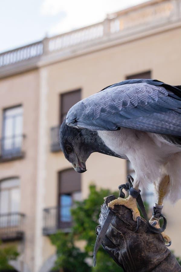 Le faucon était perché sur le gant d'un fauconnier photo libre de droits