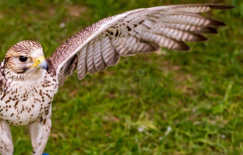 Le faucon avec une aile redressée dispose à décoller dans la perspective de l'herbe, regarde étroitement images stock